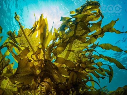 Chiết xuất tảo biển