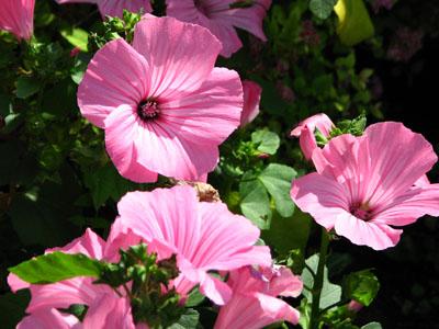 Chiết xuất hoa cẩm quỳ