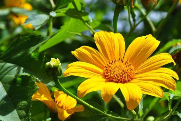 chiết xuất hoa dã quỳ