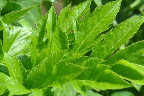Chiết xuất cây Ashitaba