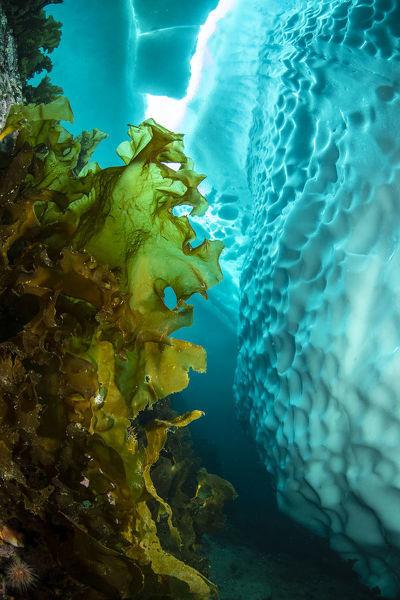 Chiết xuất tảo Saccharina