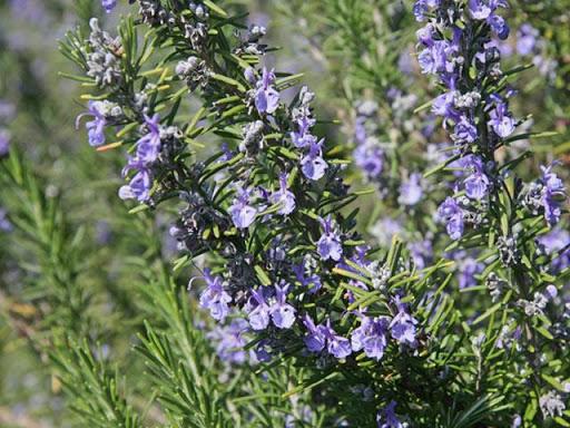 Chiết xuất thiên nhiên hương thảo