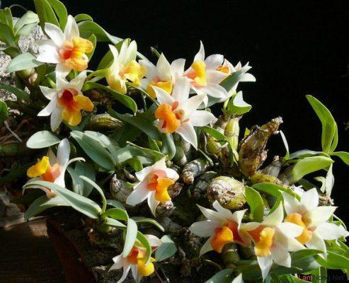 Công dụng của chiết xuất hoa lan rừng