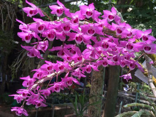 Chiết xuất hoa lan tím