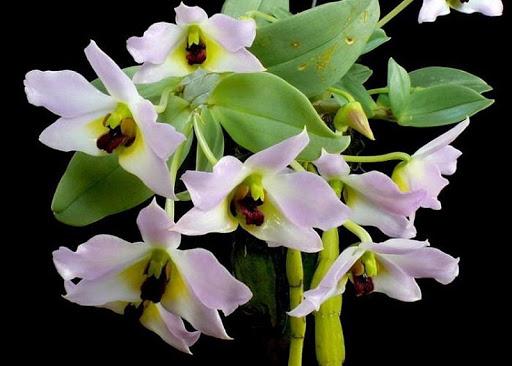 Chiết xuất hoa lan trắng