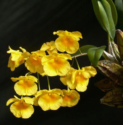 Chiết xuất hoa lan vàng